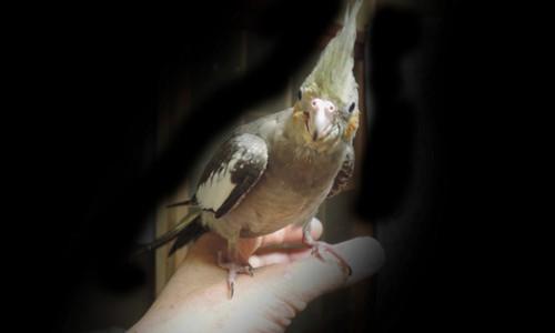 鳥の彫刻 (オカメインコ) 1